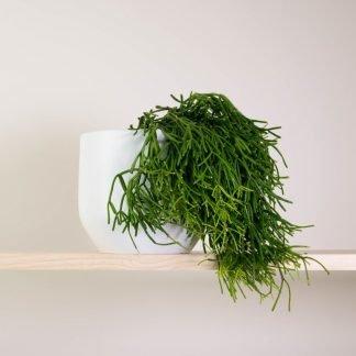 Rhipsalis in White Plant Pot
