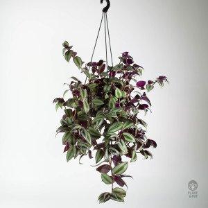 Tradescantia Zebrina in Hanging Pot