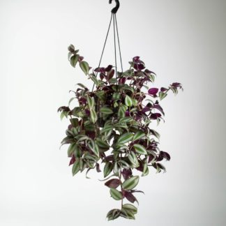 Tradescantia Zebrina in Hanging Pot