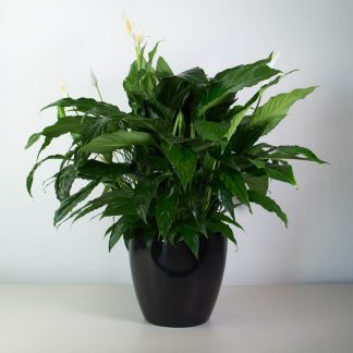 XL Peace Lily in Simple Black Pot