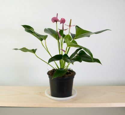 Anthurium Joli with Pink-Violet flowers