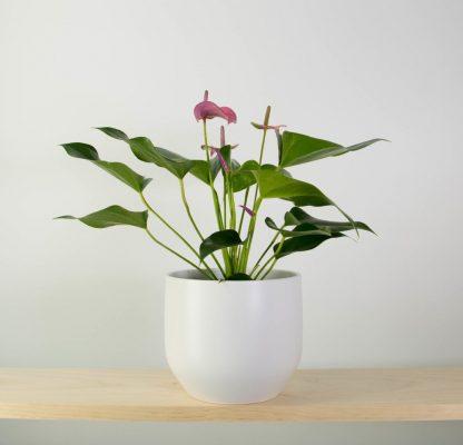 Anthurium Joli in Pure White Pot (16cm)