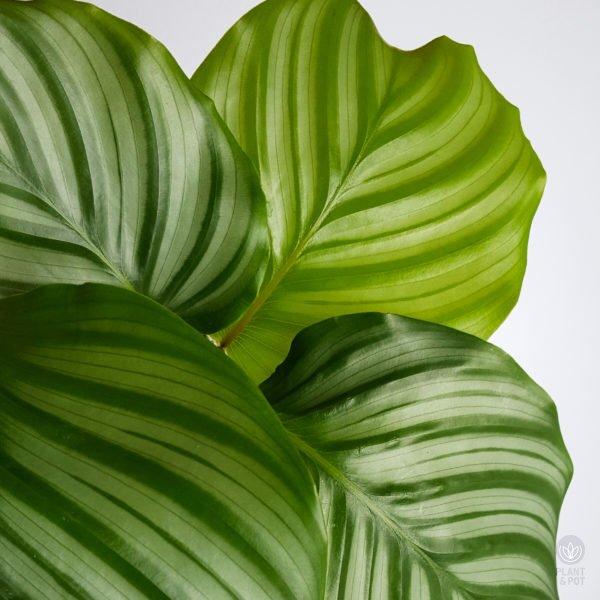 Close up of Calathea Orbifolia leaves