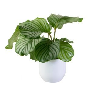 Calathea Orbifolia in White Pot