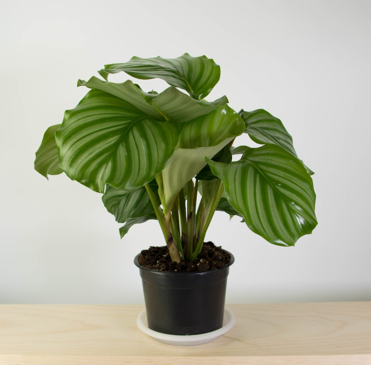 calathea orbifolia plant and pot nz. Black Bedroom Furniture Sets. Home Design Ideas
