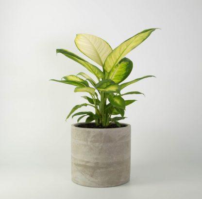 Dieffenbachia in Concrete