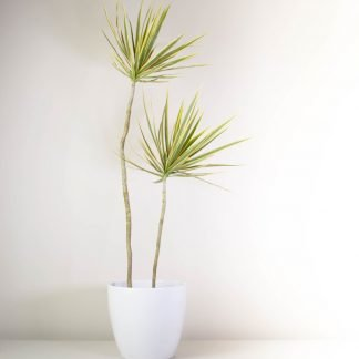 Happy Dracaena in White, Dracaena Marginata Tricolour