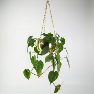 Heart Leaf Philodendron in Large Real Brass Hanging Planter, Sweetheart Plant