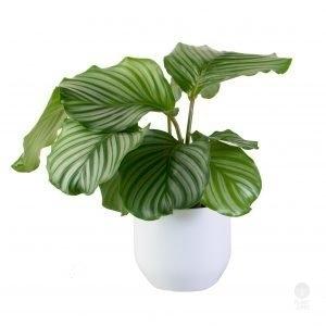 Orbifolia in White Pot