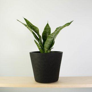 Snake Plant in Black Tiger Pot