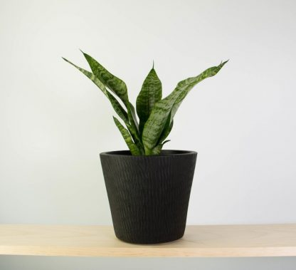 Snake Plant in Black Tiger Pot