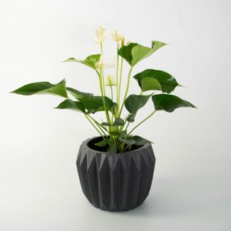 White Anthurium in Fluted Pot