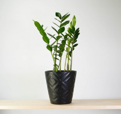 ZZ Plant in Black Diamond Pot