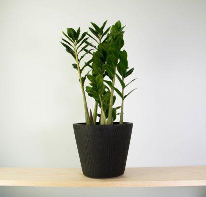 ZZ Plant in Black Tiger Pot, Zamioculcas Zamifolia