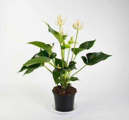 Anthurium White Champion