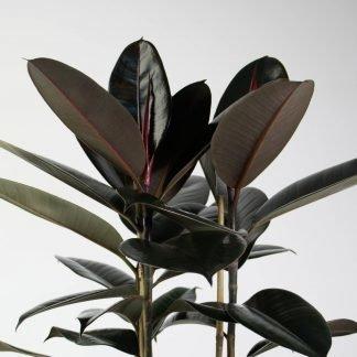 Foliage Close Up - Rubber Tree Black Knight