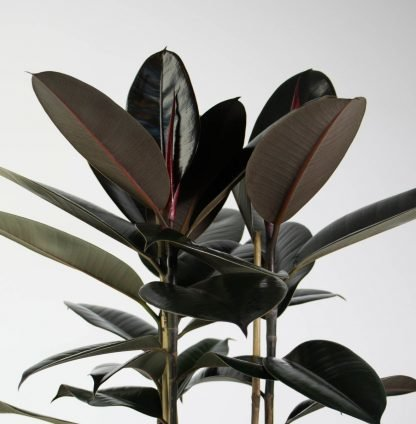 Foliage Close Up - Rubber Tree Black Knight