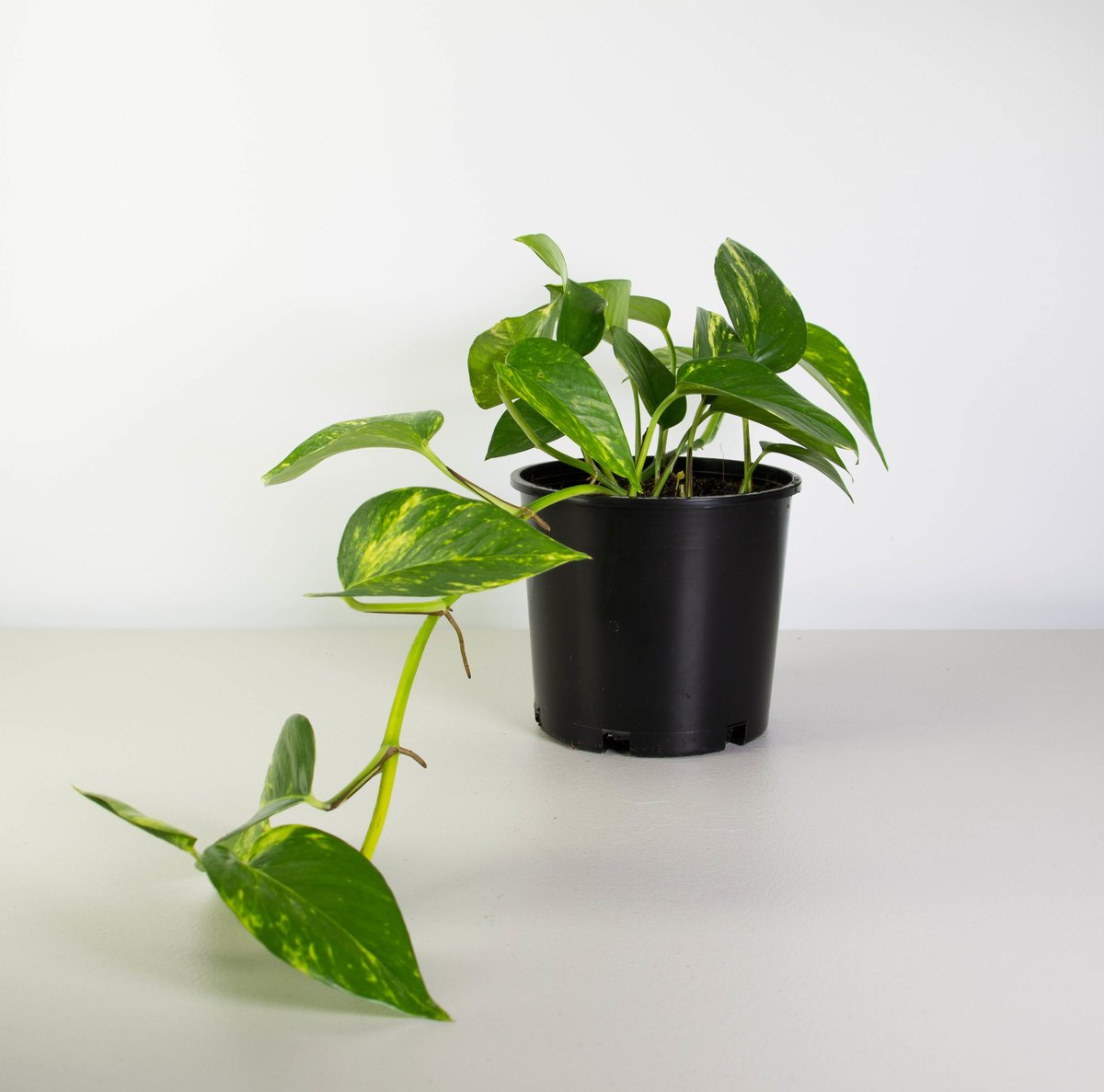 Golden Pothos Devil 39 S Ivy Money Plant