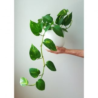 golden-pothos-in-pure-white-pot-19cm