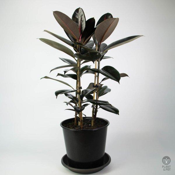 Rubber Tree 'Black Knight' Triple