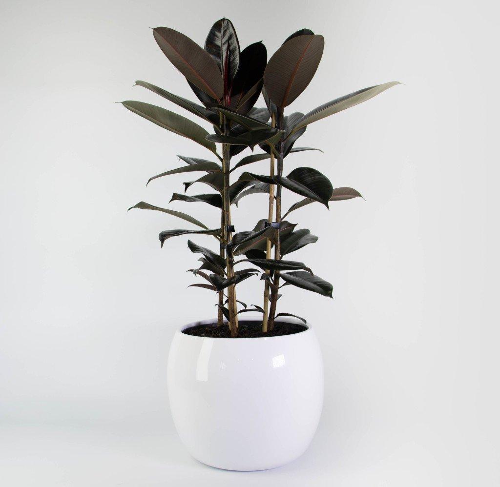 Rubber Tree X3 In Marino Pot Plantandpot Nz