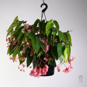 Begonia Rosea Picta