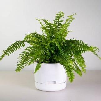 Boston Fern in White Mr Kitly Pot, 17cm