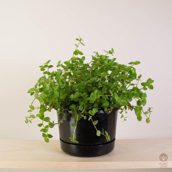 Callisia Bubbles plant