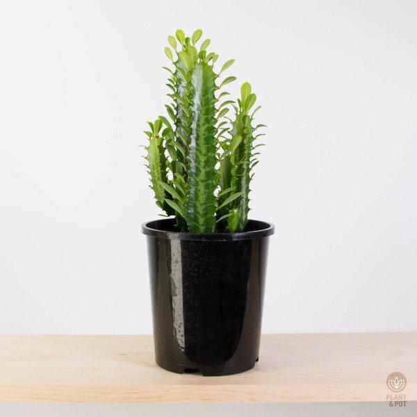 Cathedral Cactus Green, Euphorbia Trigona Green