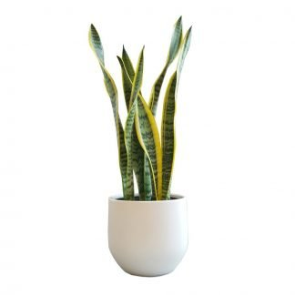 Classic Snake Plant in Pure White Pot