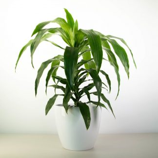 Dracaena Janet Craig in a Simple White Pot