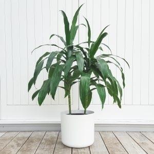 Dracaena Janet Craig in White Plant Pot