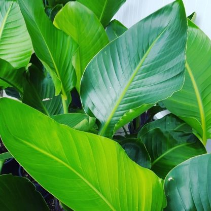 The leaves of the Giant Bird of Paradise plant (Strelitzia Nicolai)