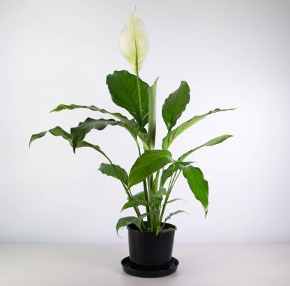 No Ordinary Peace Lily, 75cm tall approximately with large tropical leaves