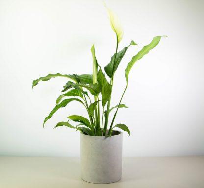 No Ordinary Peace Lily in Concrete Plant Pot