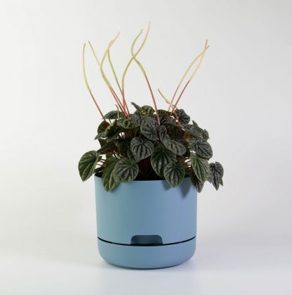 Peperomia Burgundy in Blue Mr Kitly Plant Pot 17cm