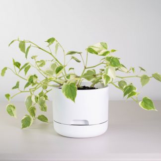 Peperomia Scandens in White Mr Kitly Plant Pot 17cm