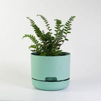 Sickle Fern in Green Mr Kitly Plant Pot 17cm