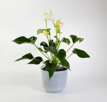 White Anthurium in Washed Denim Pot