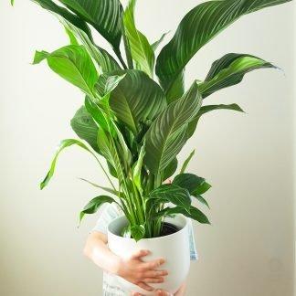 XL Peace Lily Spathiphyllum Silvana