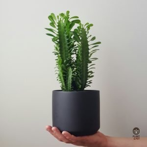Cathedral Cactus in Black