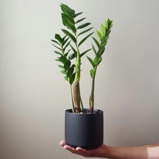 ZZ Plant in Black