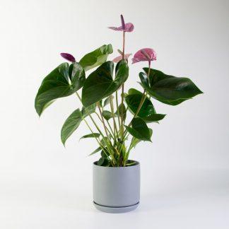 Anthurium in Grey Oslo Planter
