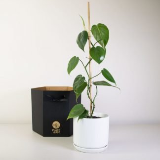 Heart Leaf Philodendron in White Oslo Planter