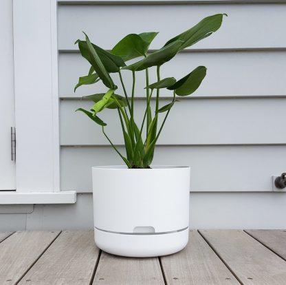 Monstera in Mr Kitly Self Watering Pot 25cm White