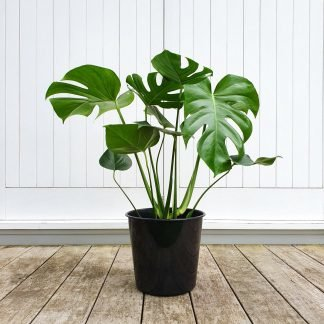 Monstera large grade 25cm