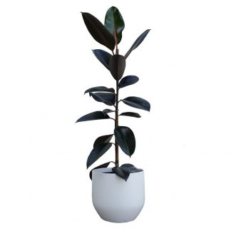 Rubber Tree in Pure White Pot 22cm diameter
