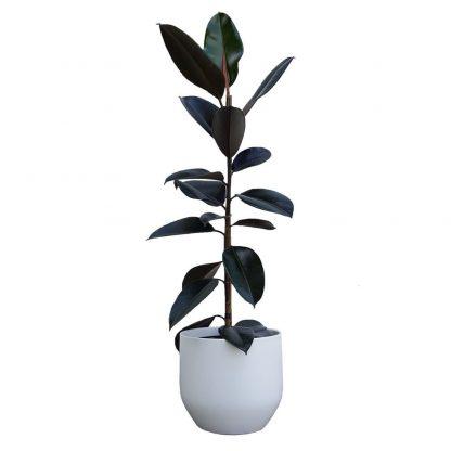 Rubber Tree in Pure White Pot 22cm diameter