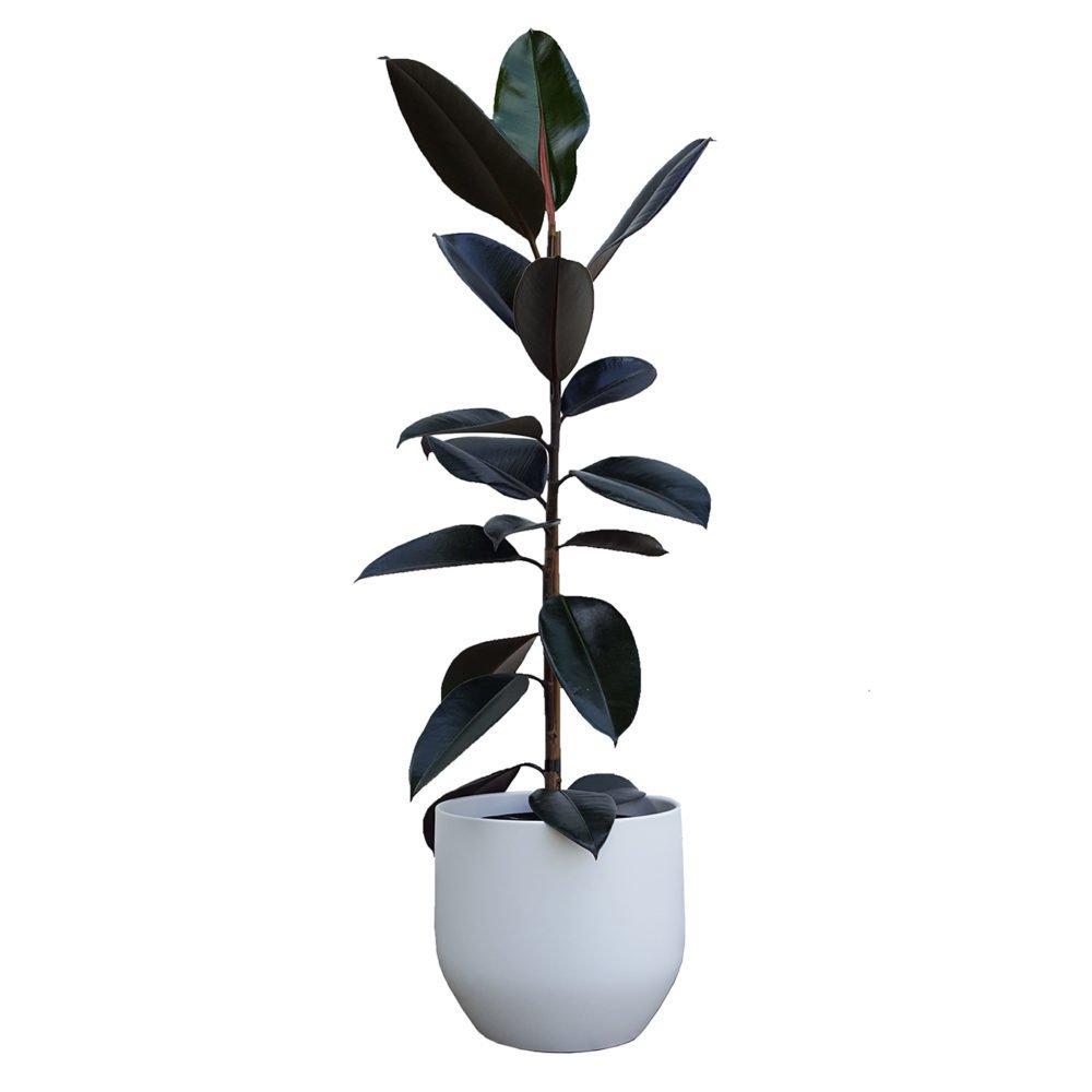 Rubber Tree Black Knight in Pure White Pot 22cm e1484529972221