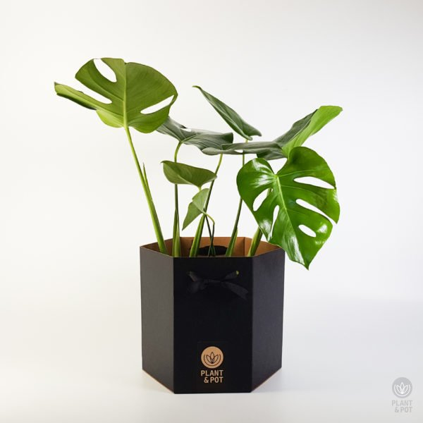 Split Leaf Philodendron in Gift Box (also known as Monstera Deliciosa)